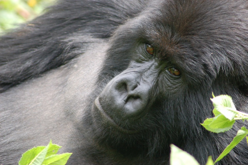 Gorilla in Rwanda  by Joachim Huber