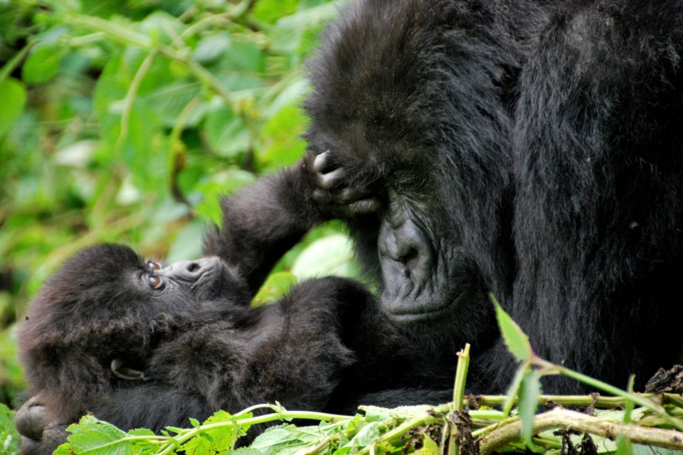 Gorilla with baby  by Kate