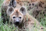 Sabi hyenas