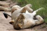 Sabi lion rolling