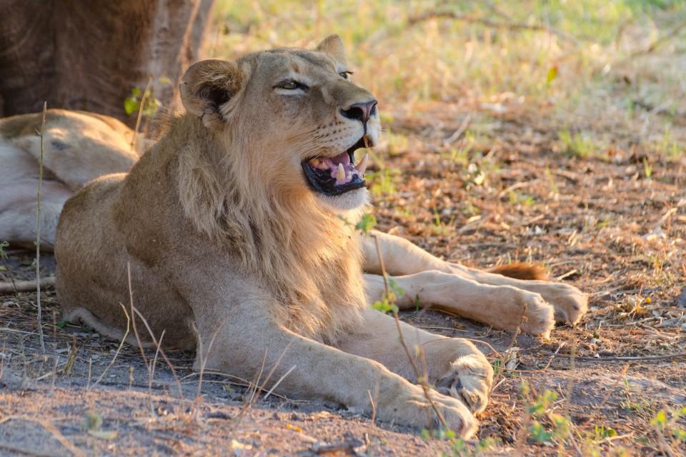 Moremi lions  by Michael Jansen