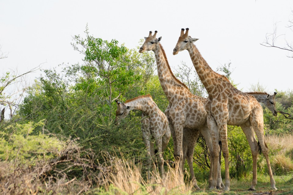 Moremi giraffes  by Michael Jansen