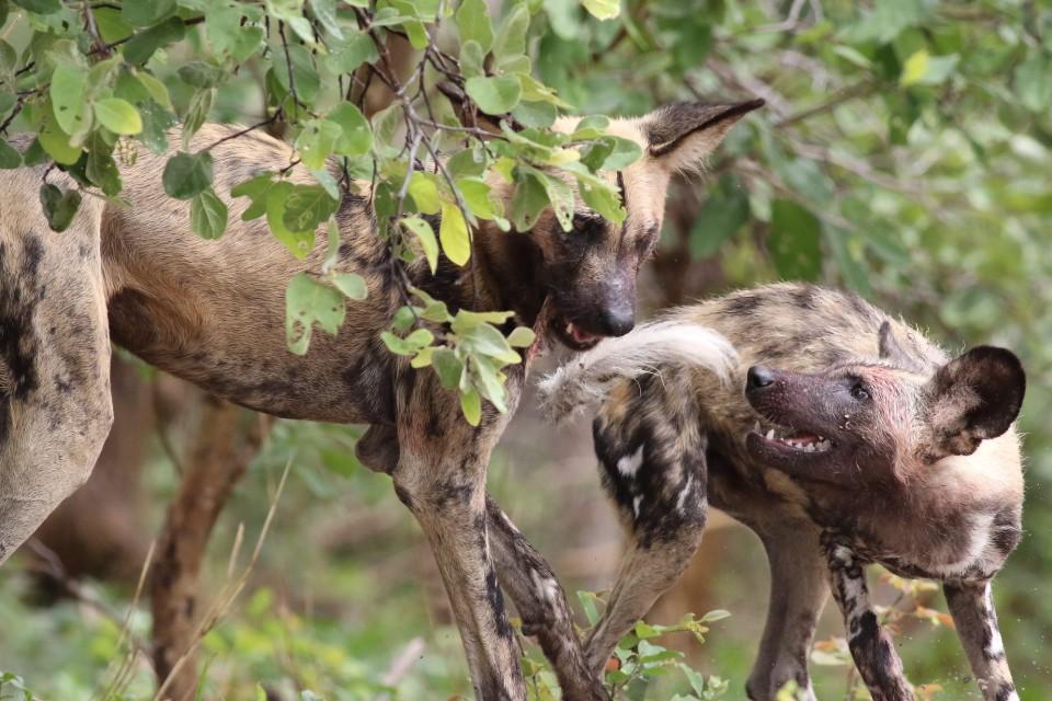 Chobe wild dogs  by Derek Keats