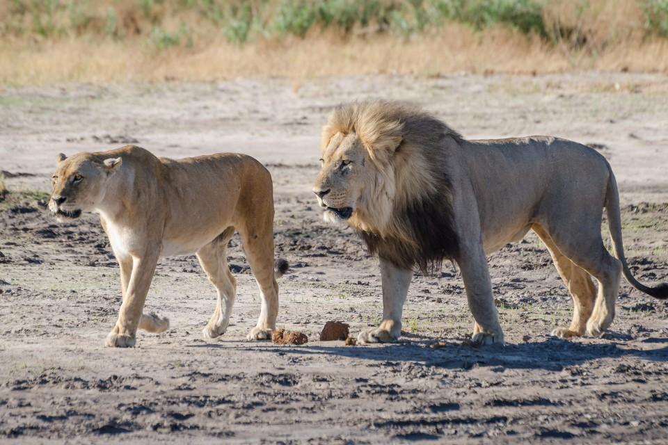 Savuti lions  by Michael Jansen