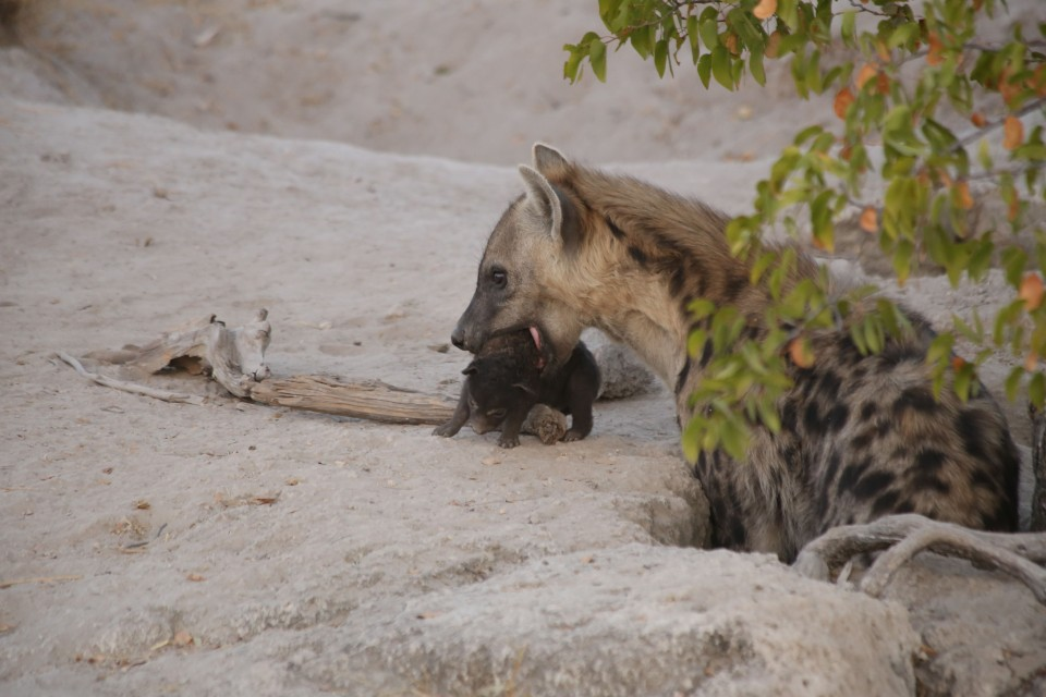 Hyena with baby