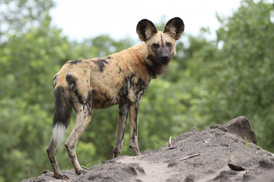 Savuti wild dog  by Derek Keats