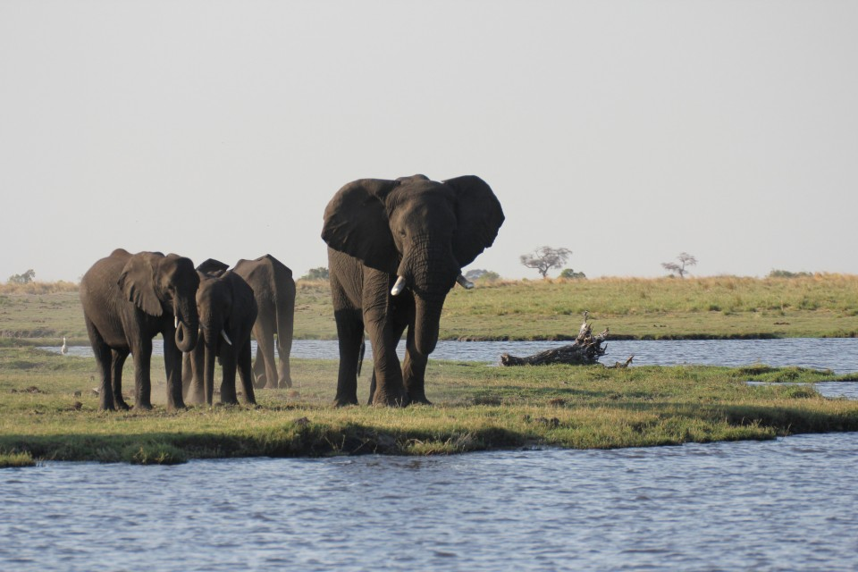Chobe elephants  by Ross Hugget