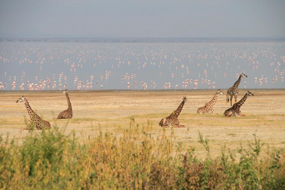 Manyara giraffes  by Marc Veraart