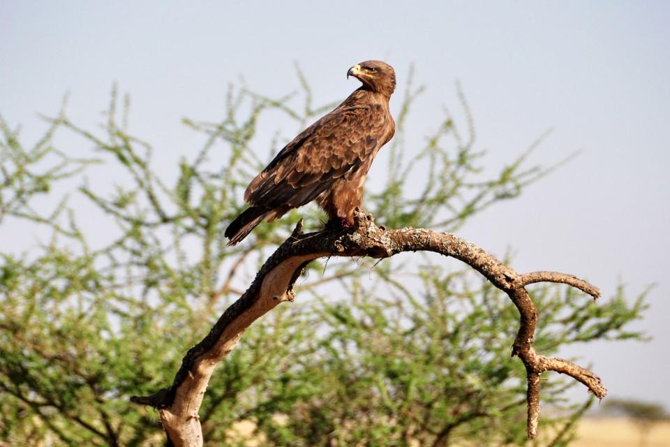 Tanzania raptor