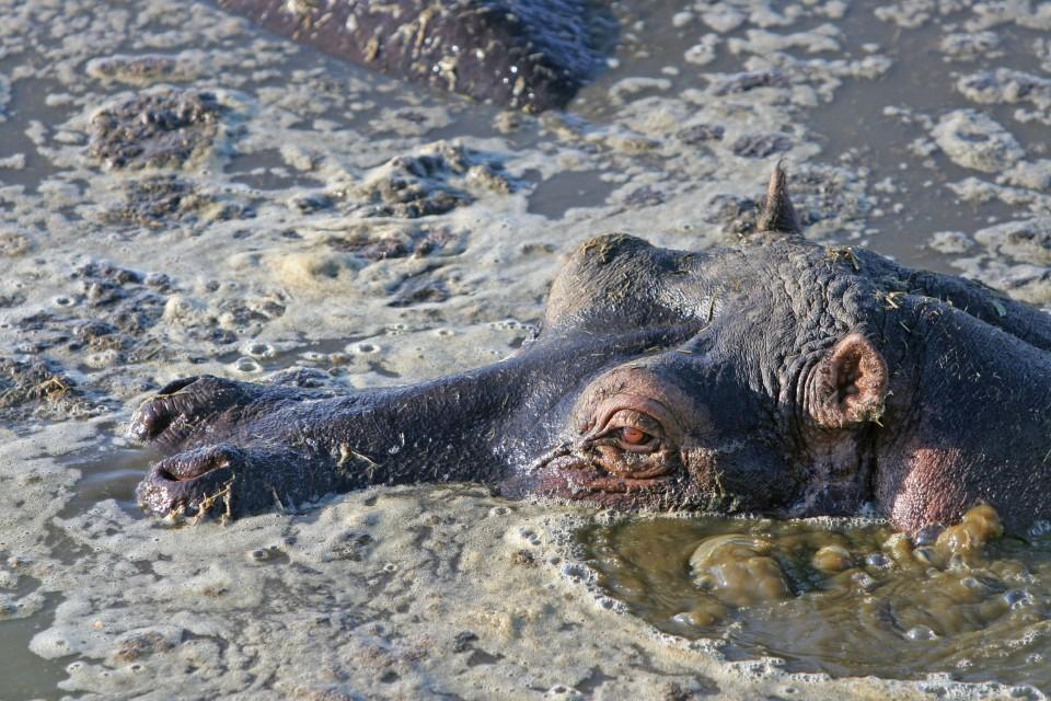 Tanzania hippo