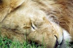 Ngorongoro lion sleeping