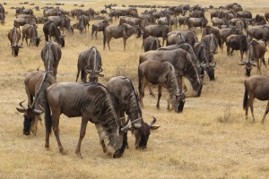 Tanzania-experience animals 25 longer