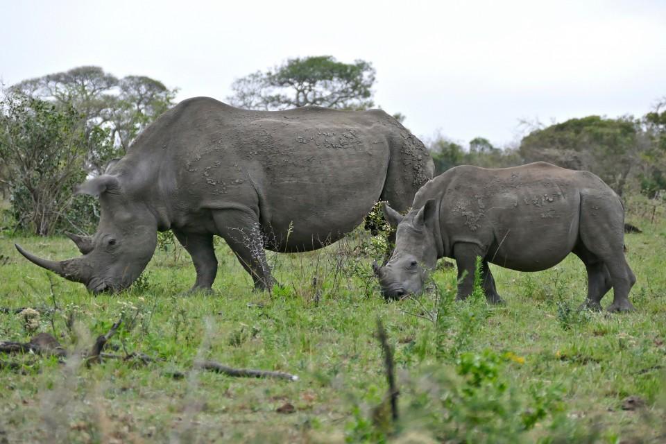 Hluhluwe-iMfolozi Park rhinos  by Bernard Dupont