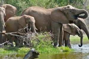 Kruger Park elephants  by Bernard Dupont