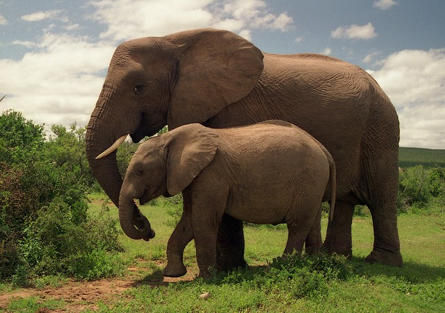 Addo Elephants  by Brian Snelson