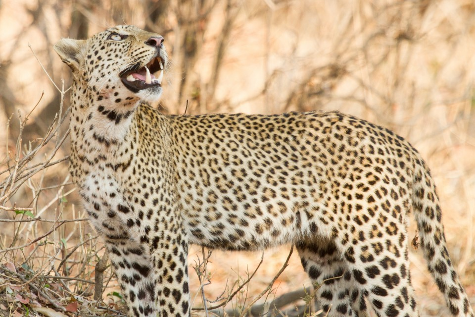 South Luangwa leopard  by Richard Toller