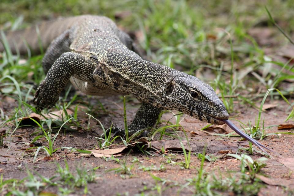 Luangwa reptile  by yeowatzup