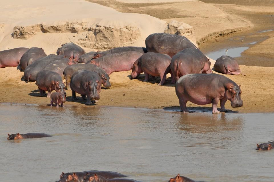 South Luangwa hippos