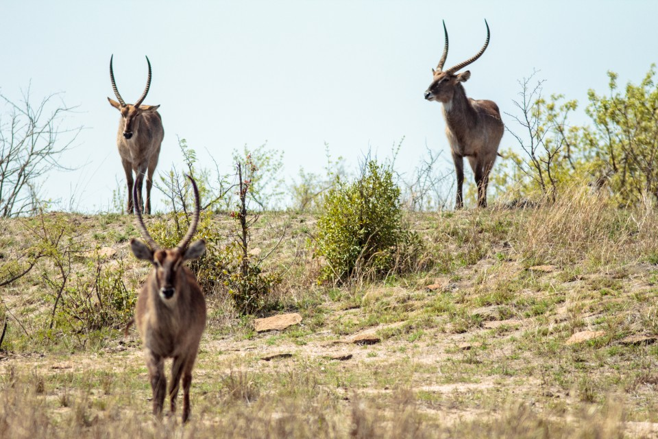 Kruger antelopes  by Stephen Temple