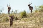 Kruger antelopes