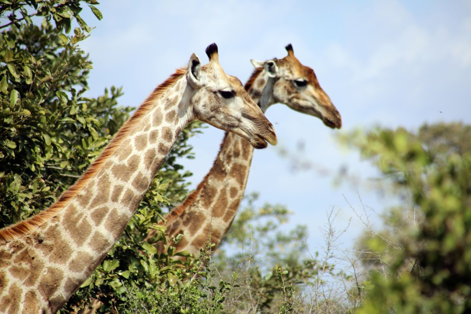 Kruger giraffes  by flowcomm