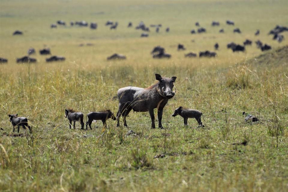 Kenya warthog