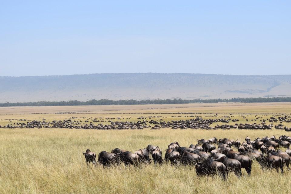 Kenya wildebeest