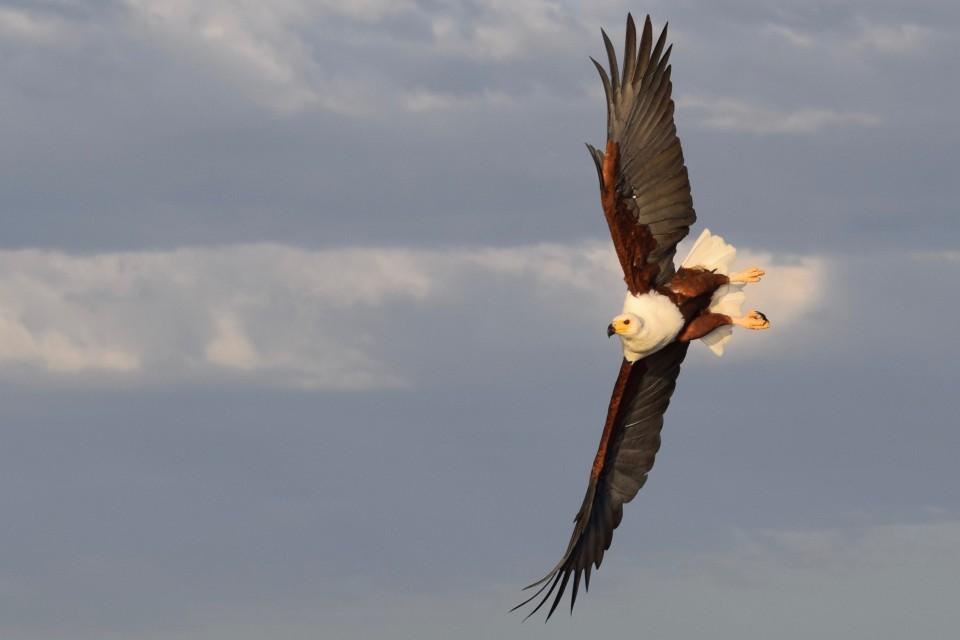 Kenya eagle