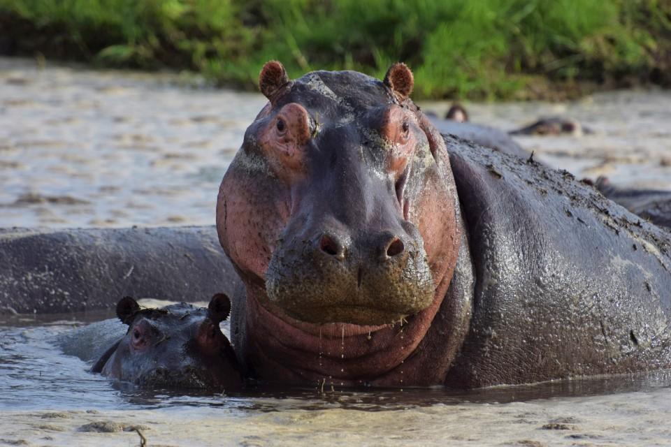 Kenya hippo