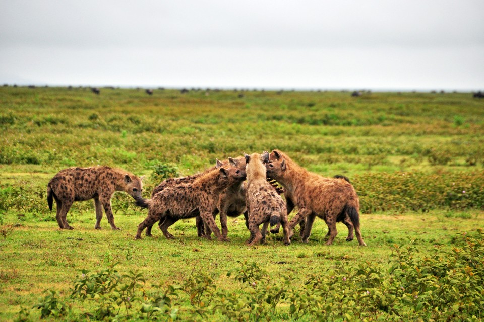 Kenya hyenas