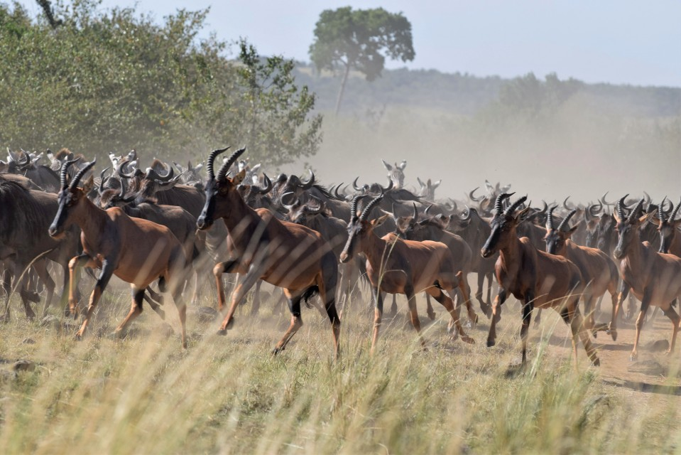Kenya topi antelope