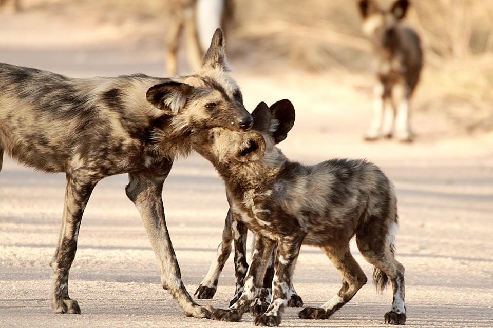 Kruger wild dogs  by Arno Meintjes