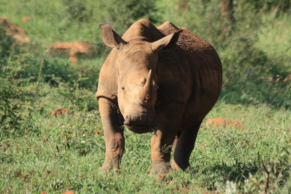 Hluhluwe-imfolozi rhino  by Clive Reid