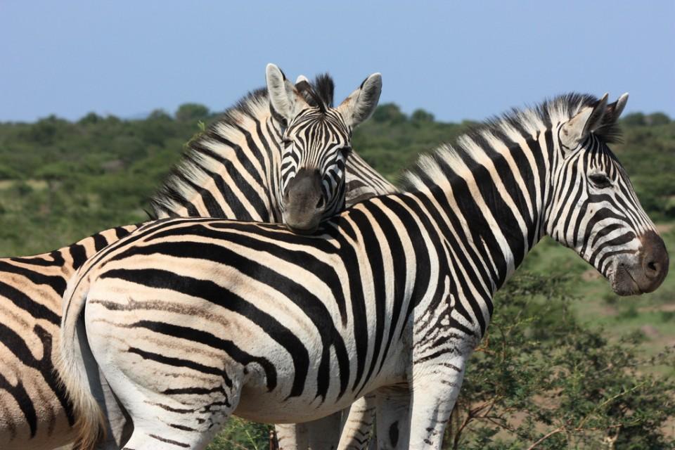 Hluhluwe-imfolozi zebras  by Clive Reid