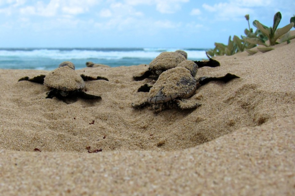 Isimangaliso turtles