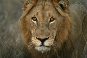 Kruger lion by Johann du Preez