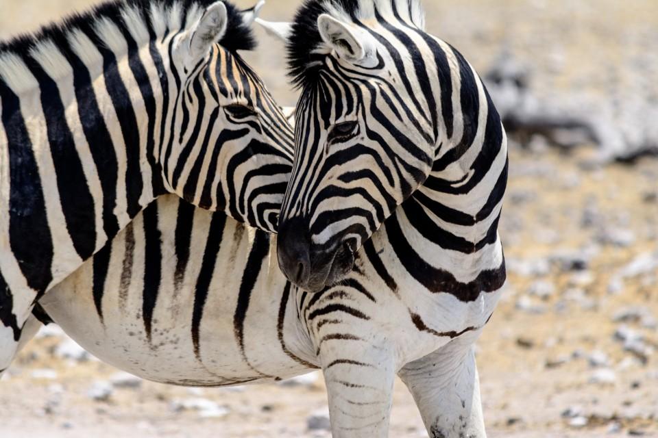 Etosha zebras  by dconvertini