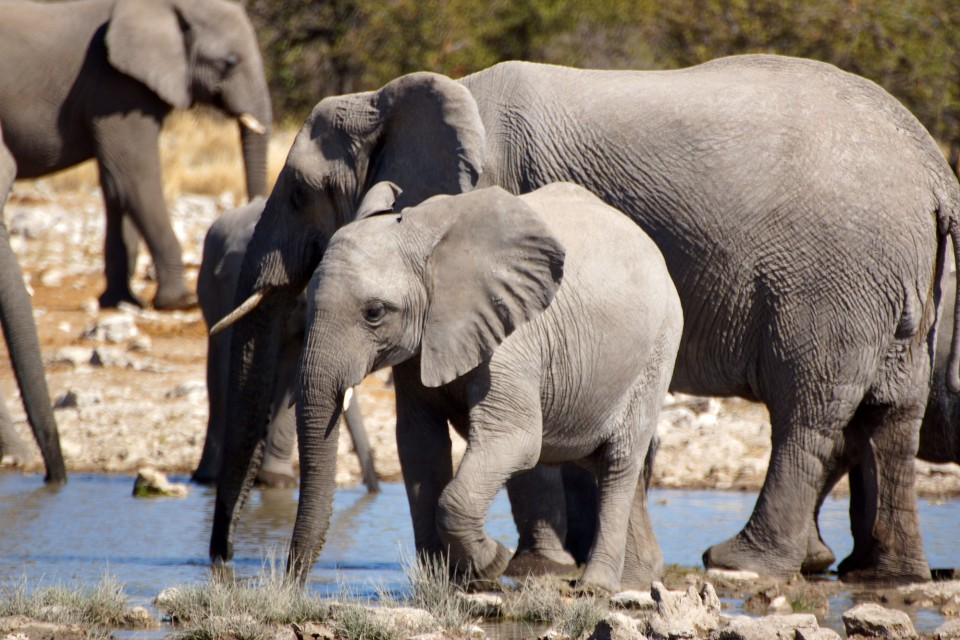 Etosha elephants  by Heribert Bechen