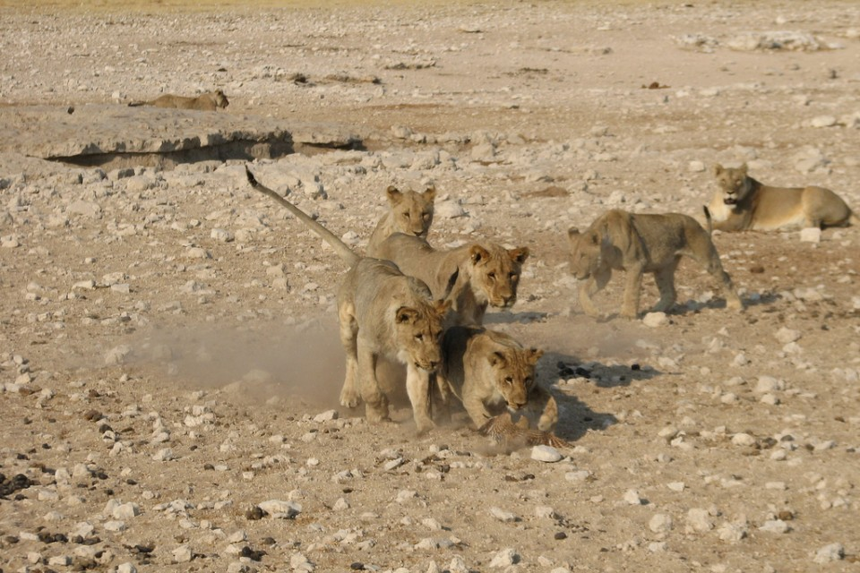 Etosha lion cubs  by NH53