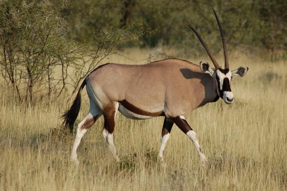Etosha oryx  by Joachim Huber