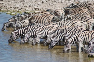 Etosha zebras by Joachim Huber