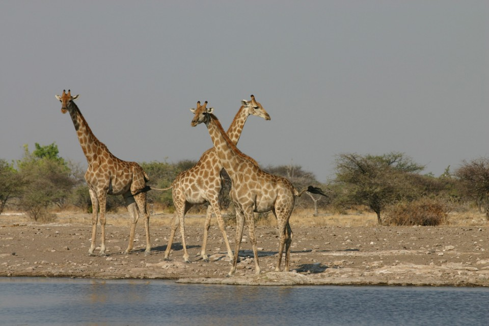 Etosha giraffes  by Erwin T