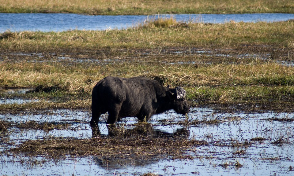 Buffalo in Chobe  by Tim Copeland