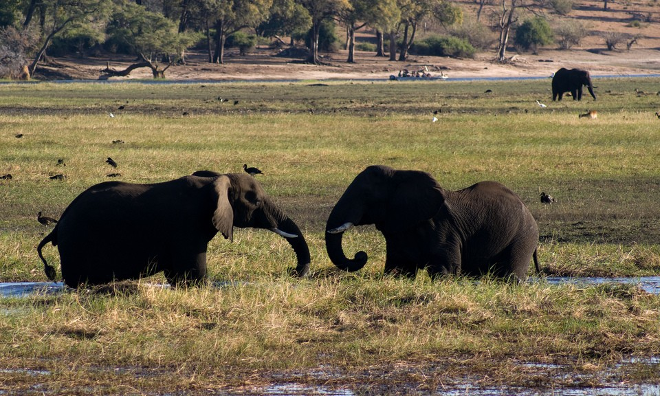 Elephants in Chobe  by Tim Copeland