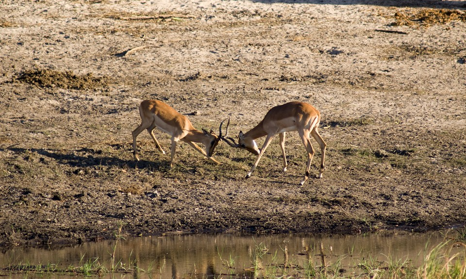 Antelopes in Chobe  by Tim Copeland