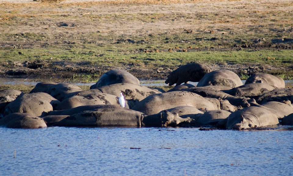 Hippos in Chobe  by Tim Copeland