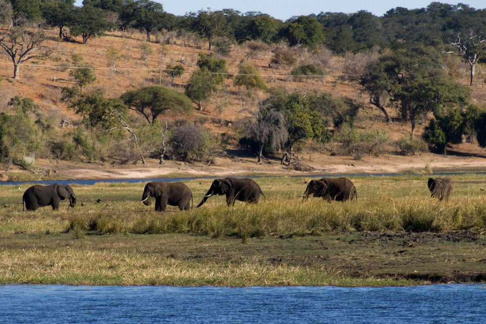 Chobe elephants  by Tim Copeland