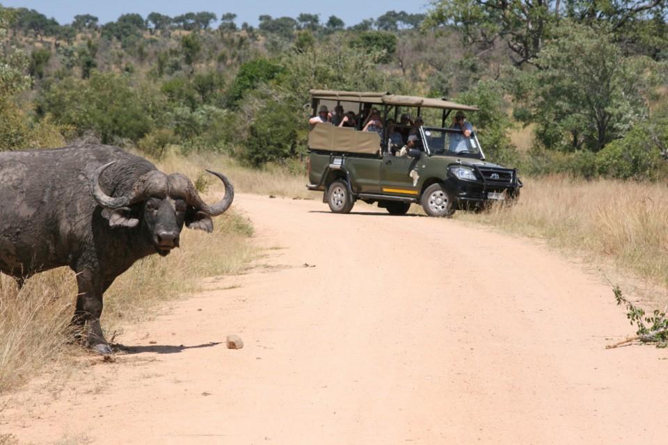 Buffalo in Kruger