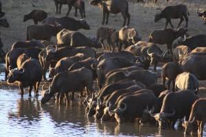 Buffalo herd by Derek Keats