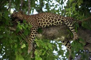 Leopard by Flowcomm